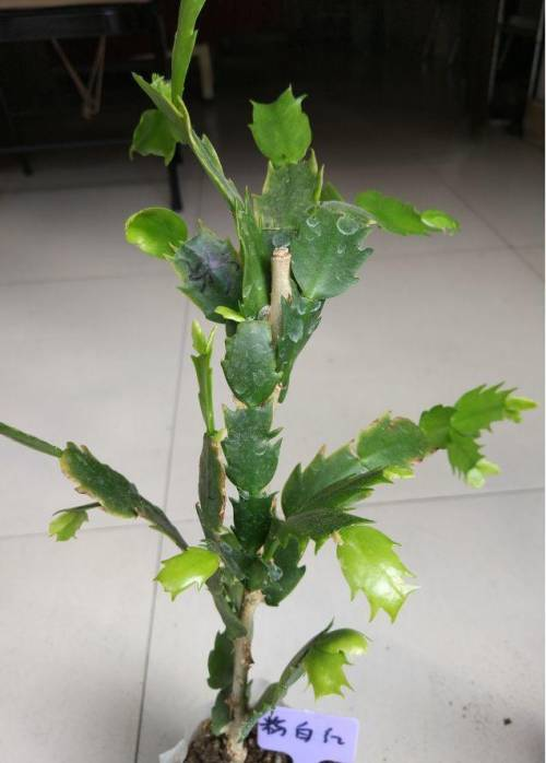 1~2年生的叶仙枝条,直径大概有5mm粗;插穗采用长势良好的蟹爪兰叶片.图片