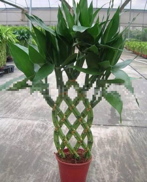 10枝富贵竹编织步骤
