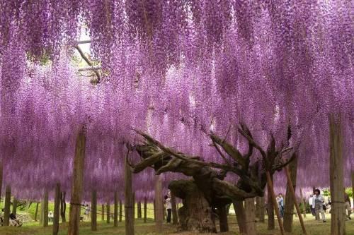 中国紫藤花开成海,不输日本百岁树龄怒放,太美!