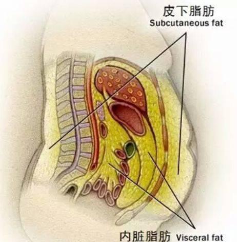 牛的内脏结构图片