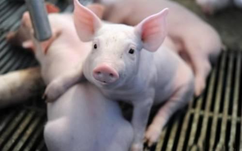 猪传染性胃肠炎的威力你了解吗?别大意!小心毁了一窝猪