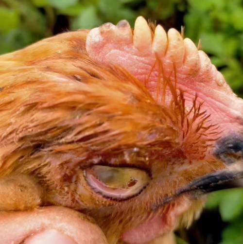 鸡,肿头肿脸,眼睛瞎,咳嗽,呼噜,最快的治疗办法