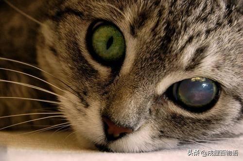 猫咪眼睛发红、流泪,是结膜炎还是角膜炎?